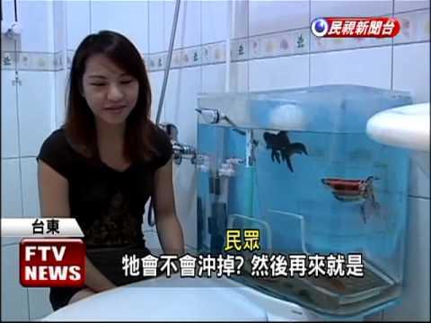 水箱養魚不稀奇,但如果是馬桶水箱養魚,這可就少見了
