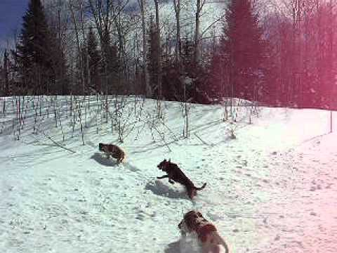 Hounds Released on Hot Coyote Track