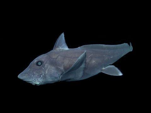 比恐龍還古老的「幽靈鯊」第一次被人類拍到影像,牠的頭部…竟然有生殖器官!