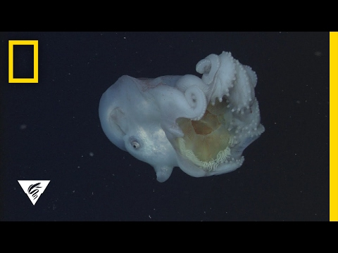 Giant Deep-Sea Octopus Devours Jellyfish—And Keeps the Stingers   National Geographic