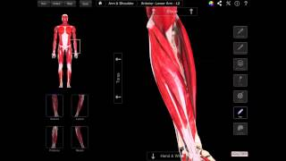 105 The Superficial Muscles Of The Anterior Compartment Of The Forearm