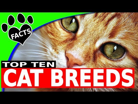 Cats 101: Top 10 Most Popular Cat Breeds  - Animal Facts