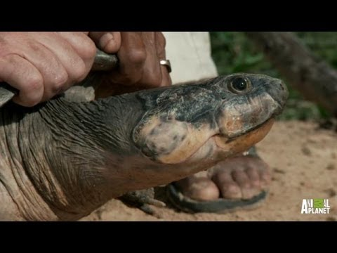 Massive Turtles Not as Slow as You Think | River Monsters