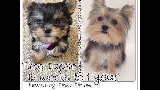 Time Lapse Puppy 12 weeks to 1 year Cute Yorkie Misa Minnie - YouTube