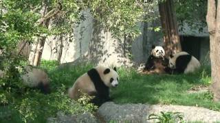 Pandas at the research center in ChengDu 成都