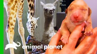 5 Of The Most Incredible Animal Births (Compilation) by Animal Planet