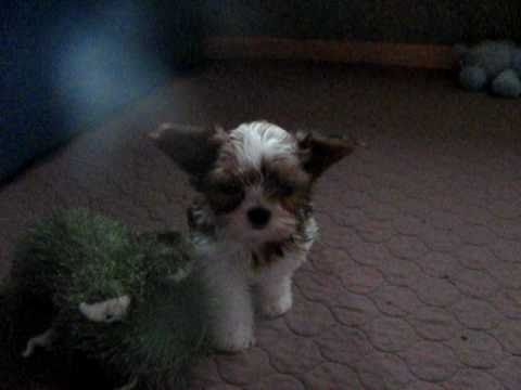 Bella a tiny shorkie puppy