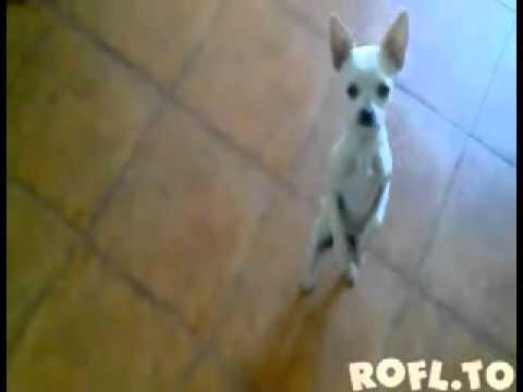 Dancing Flamenco Chihuahua