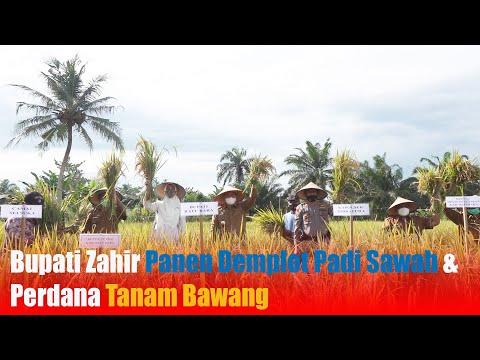 Bupati Zahir Panen Demplot Padi Sawah & Perdana Tanam Bawang
