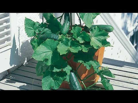 Growing Cucumbers in a Container