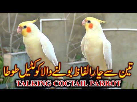 Talking Cocktail Parrots 2020 Updates Video In Urdu/Hindi