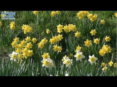 春を満喫、鮮やか10万本 水仙の丘
