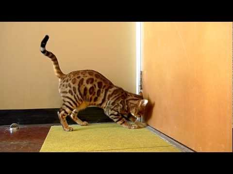 Bengal Cat Scratching & Meowing At A Door