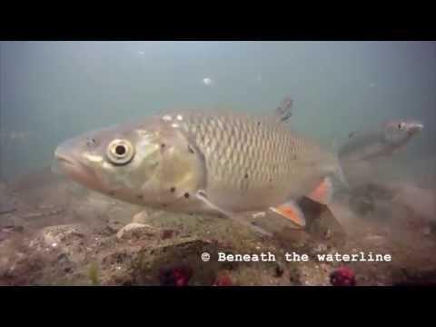 Chub (Squalius cephalus) Underwater UK (видео)