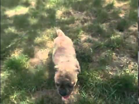 Olde English Bulldogge Male Puppy All Brindle