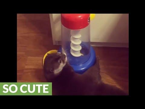 la-lontra-ed-il-suo-giochino-nuovo