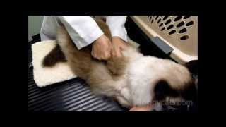 Acupuncture For Cats And Dogs With Pat Perkins -ねこ - ラグドール -- Floppycats
