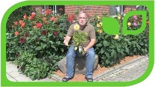 Die perfekte Dahlien Pflanzung in 6 Wochen