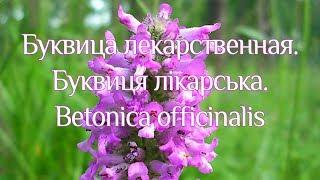 Буквиця лікарська