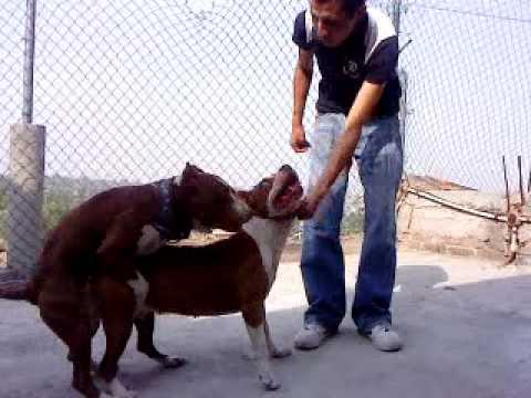 Video american pit bull aparemiento... download in MP3, 3GP, MP4, WEBM, AVI, FLV January 2017