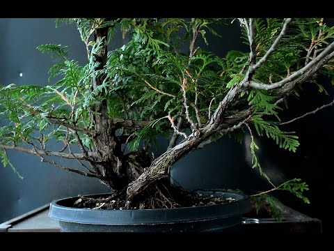 Mountain Style, Eastern White Cedar Bonsai, Sept 2016 (видео)
