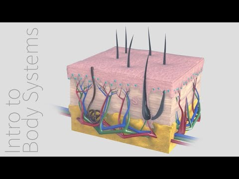 Anatomy of the Integumentary System | Bajool.com