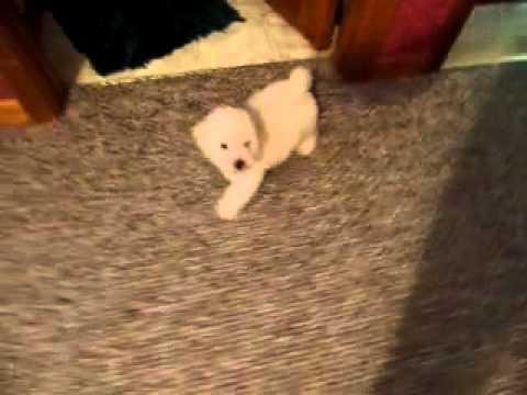Jenny..Bichon Poo Cutie Pie!!!