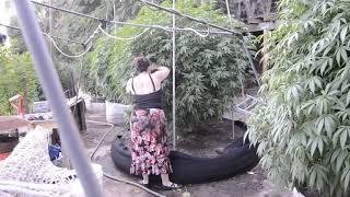 2019 outdoor grow 600 gal smart pot sherbet by Emerald Coast 420