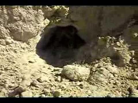 Podenco tras conejos en Langa (Ávila) видео