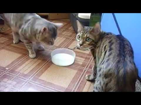 Ozzy Man Commentates on Cats Fighting Over Milk