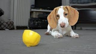 Cute Puppy vs. Lemon: Cute Puppy Potpie by Maymo