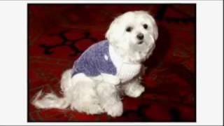 Dogs 101: Maltese