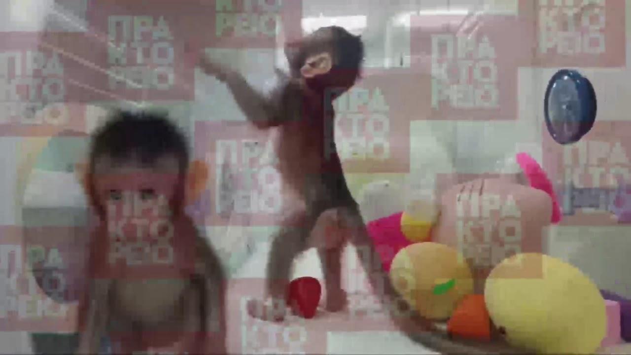 Κλωνοποίησαν μαϊμούδες