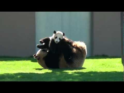 Pandamamma leker med sin unge
