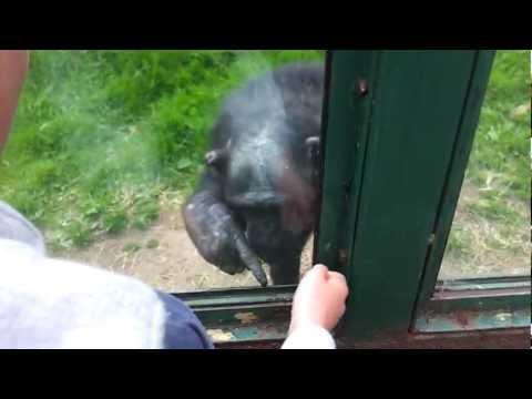大猩猩對著遊客一直「拼命用手指著某個地方」,當大家知道原因後再也笑不出來了…