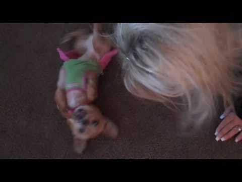 Funny Chihuahua dog biting own foot doing the happy dance