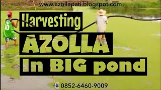 Nonton Azolla harvesting in a big pond (cara panen azolla di kolam besar) Film Subtitle Indonesia Streaming Movie Download