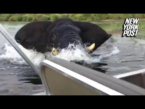 כשפיל ענק התרגז על תיירים בספינה בנהר