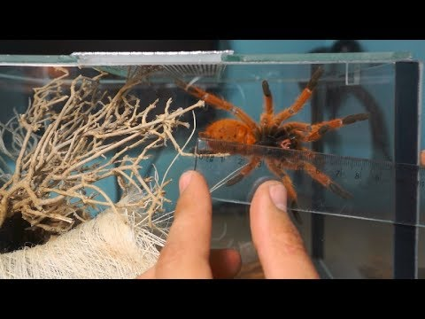 Rehouse oraz aranżacja terrarium dla Pterinochilus murinus usambara!_Terrárium, Vivárium. Heti legjobbak