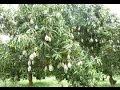आम का वृक्ष सपने में देखना क्या संकेत देता है