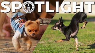 O cão mais rápido em dois patas dianteiras