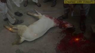 Qurbani Goat 2016  Umer  03347653359