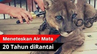 Video MENGHARUKAN.!! Singa Gunung Ini Menangis Saat Terlepas Dari Belenggu Rantai MP3, 3GP, MP4, WEBM, AVI, FLV Februari 2019