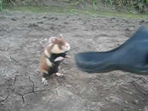 這些人看到眼前可愛的倉鼠時立馬就靠近和牠玩,怎知結果會讓他們從此對倉鼠有陰影!