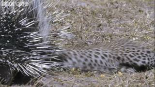 HD: Leopard Vs Porcupine - Nature's Great Events: The Great Flood - BBC One