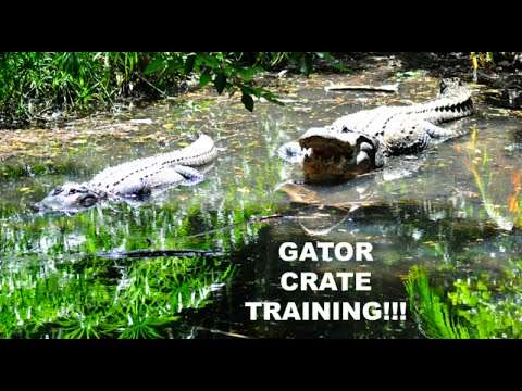 zootube - How do you crate-train an American alligator? Very carefully! Palm Beach Zoo & Conservation Society Associate Curator Elizabeth Andersen and Zookeeper Katie ...