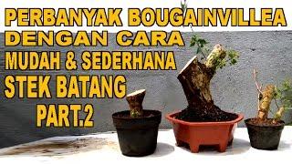 Video Perbanyak Bouganivillea Dengan Cara Mudah & Sederhana Stek Batang Part.2 MP3, 3GP, MP4, WEBM, AVI, FLV November 2018