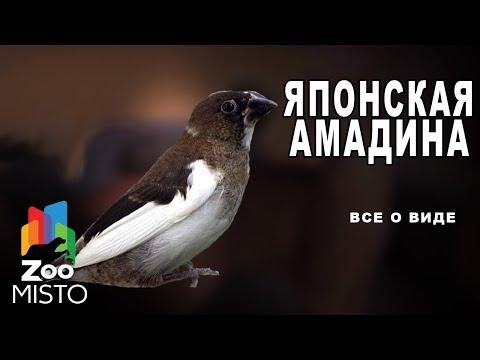 Японская амадина - Все о виде птицы