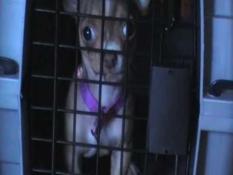 Chihuahua puppy barking