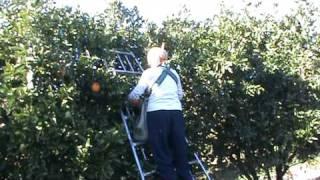 Orange Australia  city images : orange picking in griffith,australia